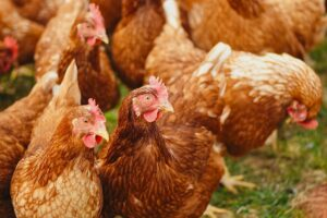Group of free range chickens roaming outside in field